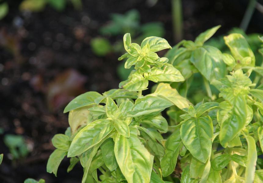 ervas aromáticas manjericão