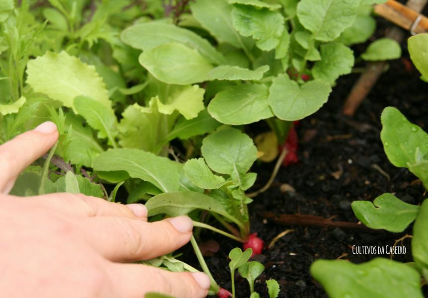 cultivar rabanetes com crianças