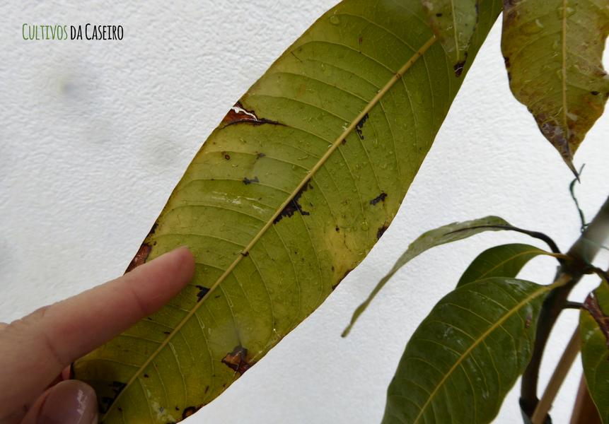 Mangueria em vaso com doença da horta