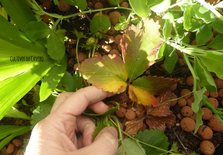 Tratar morangos com doenças da horta