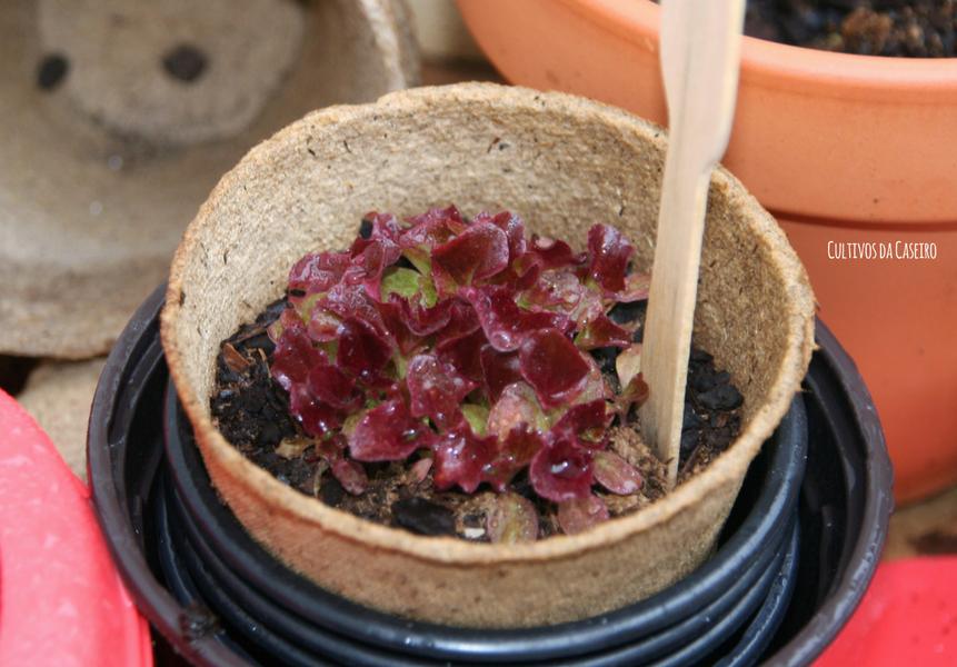 germinar alface em março