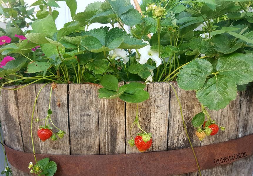 cultivar-morangos