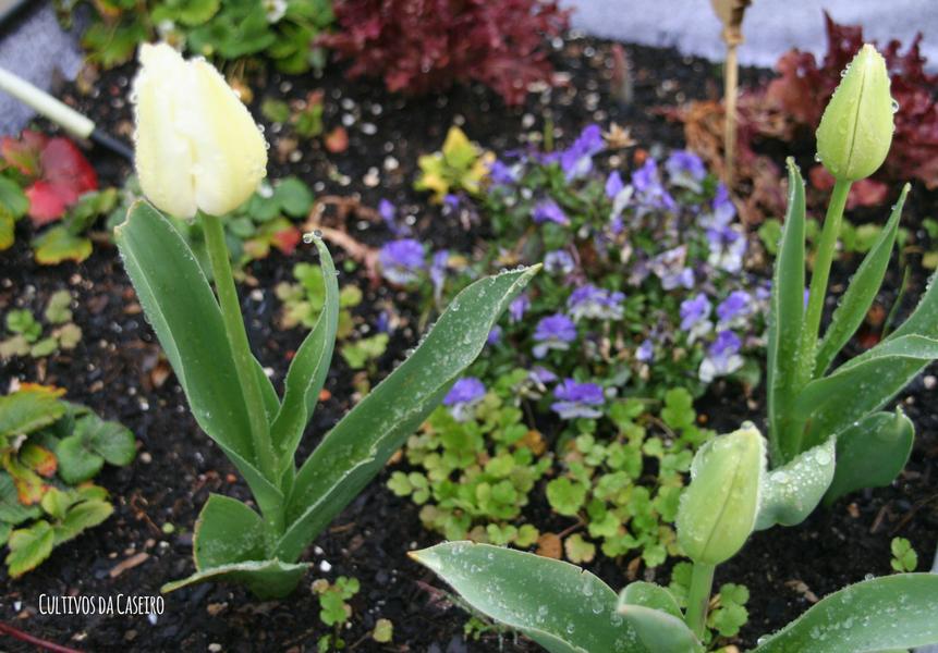 plantar em março tulipas