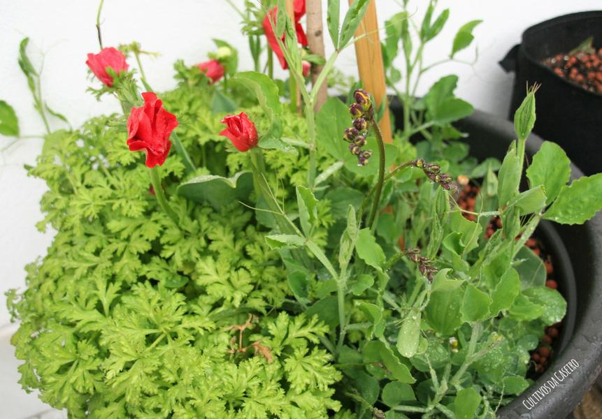 plantar anémomas e ervilhas de cheiro em vaso