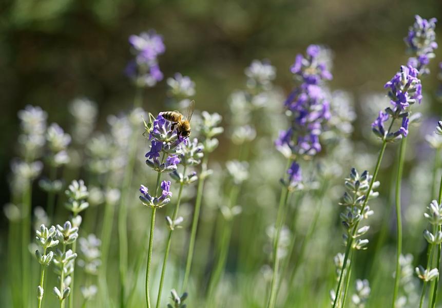 abelhas-amigas-da-horta