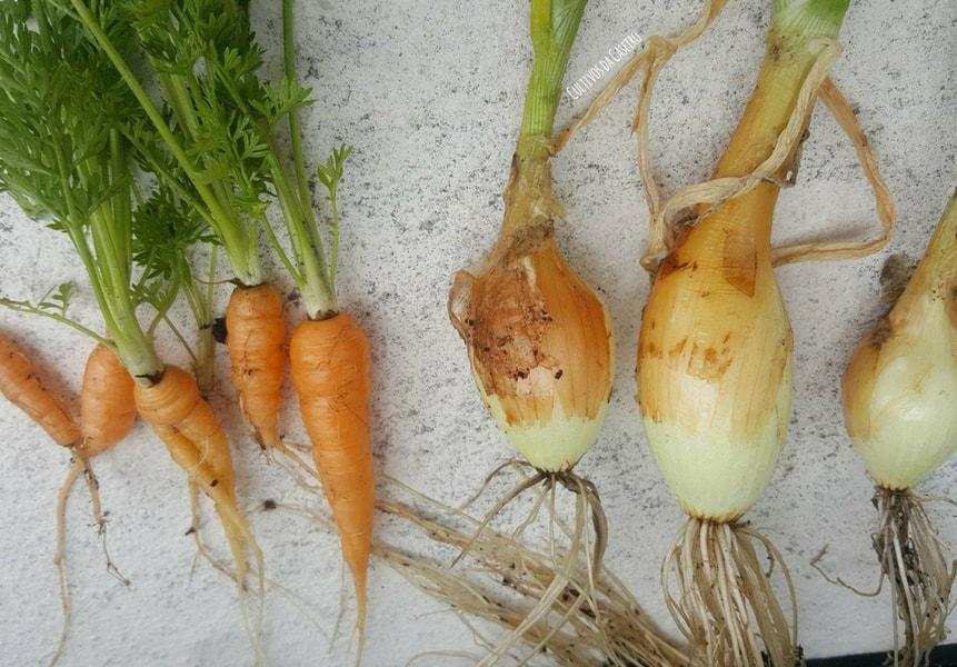 cenouras-cebolas-novas-do-canteiro-das-sopas