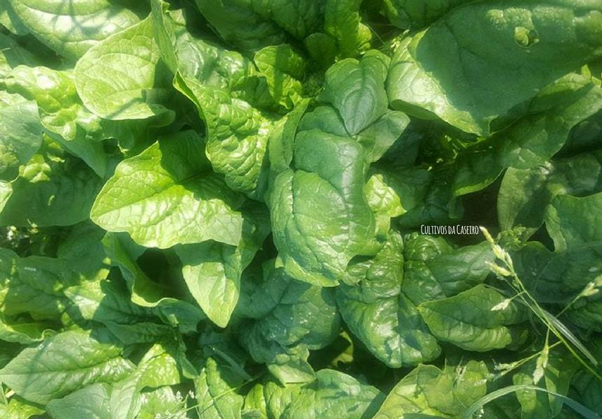 plantar-espinafres