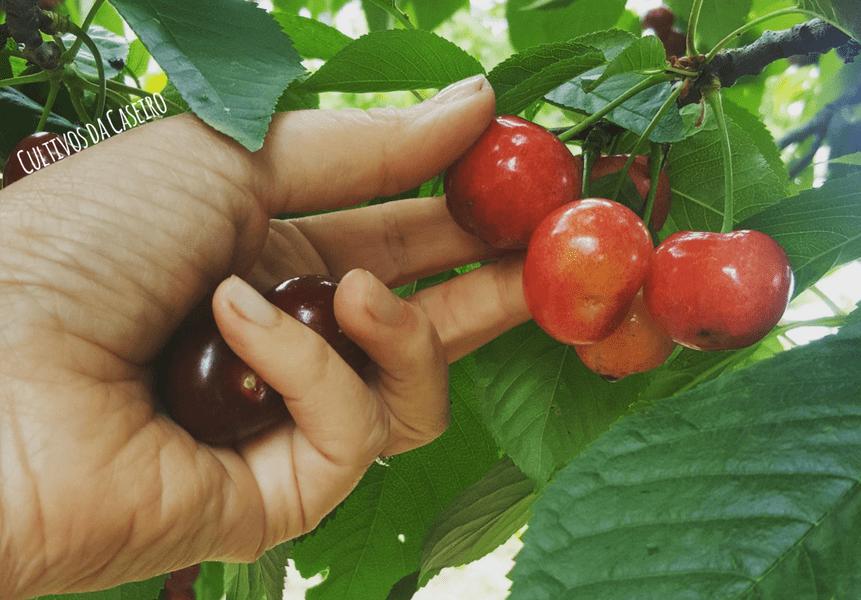 colher-cerejas-em-junho