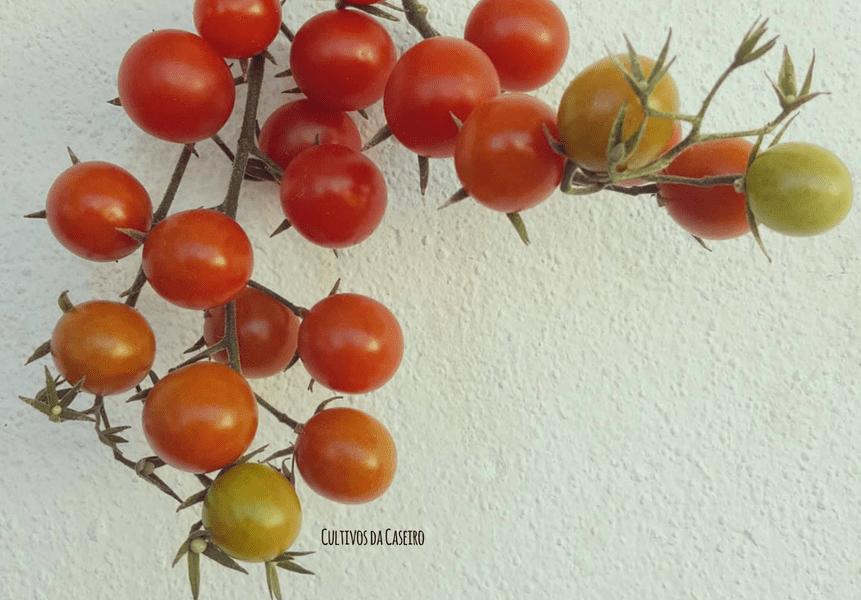 tomate-cherry-em-agosto