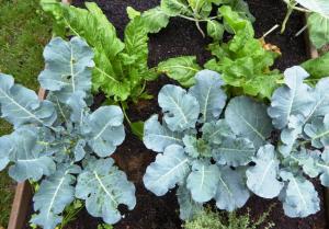 Doenças na horta ou jardim