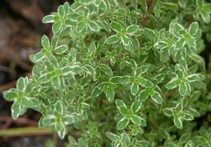 plantas amigas da horta tomilho