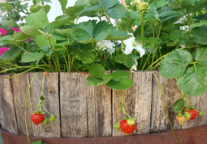 plantar-morangos