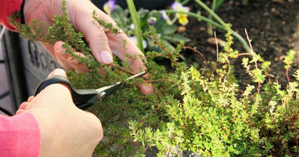 ervas aromáticas como cultivar
