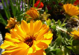 flores-comestiveis-cultivos-da-caseiro
