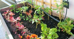 plantas-companheiras
