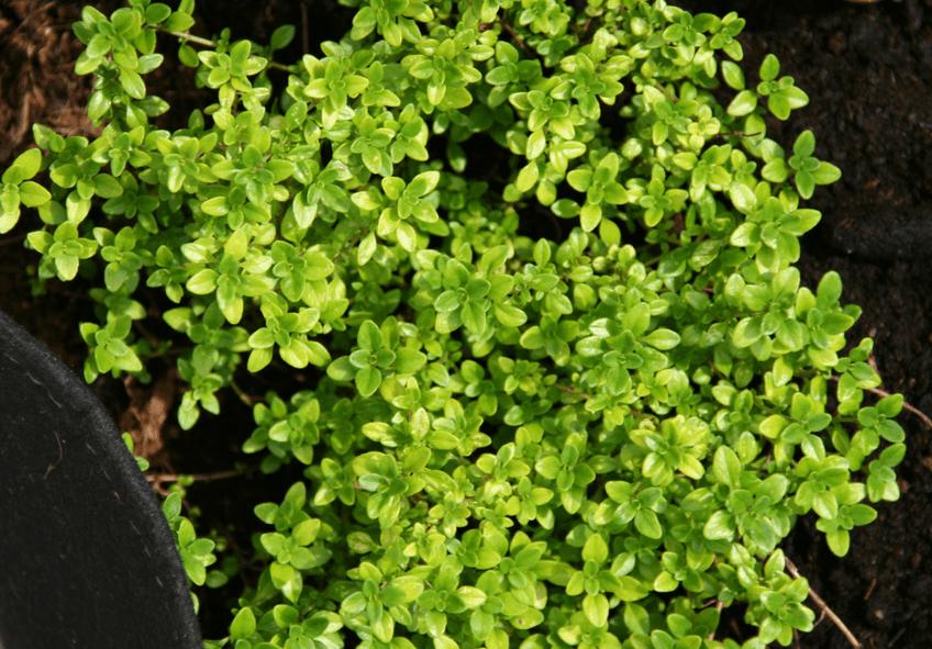 jardim de ervas aromaticas