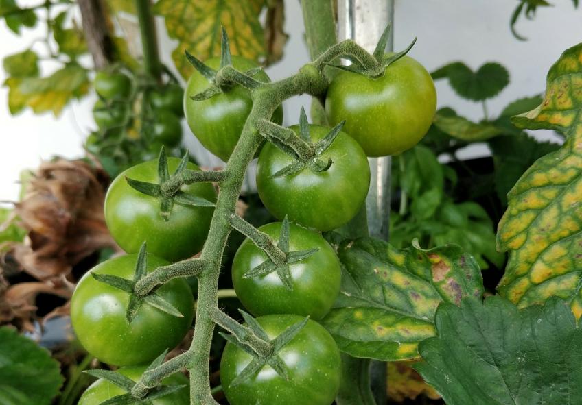 tomates fungicida