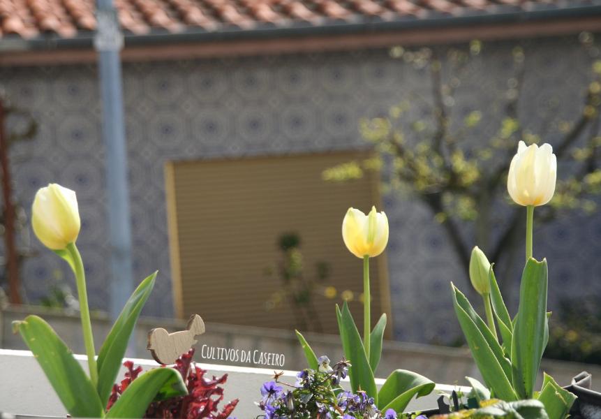 bolbos-de-tulipas