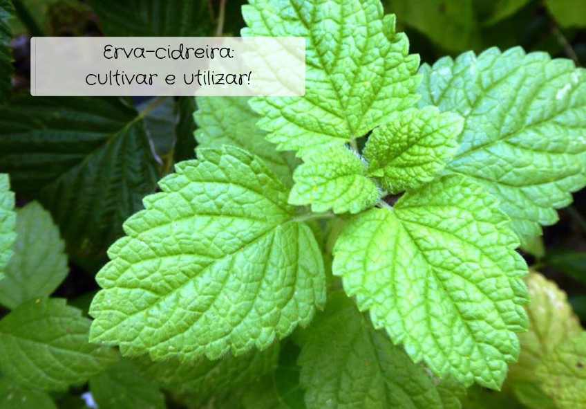 erva-cidreira-como-cultivar-e-utilizar
