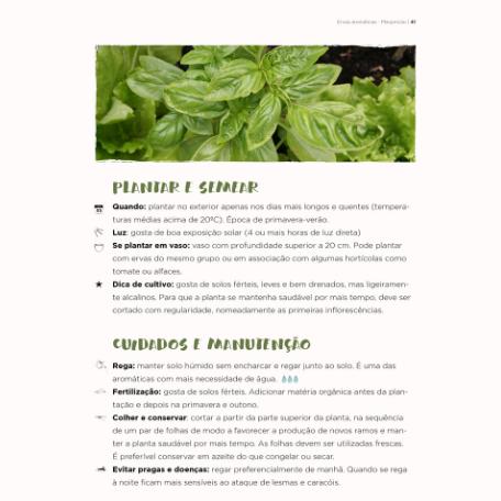 Manjericão dicas de cultivo