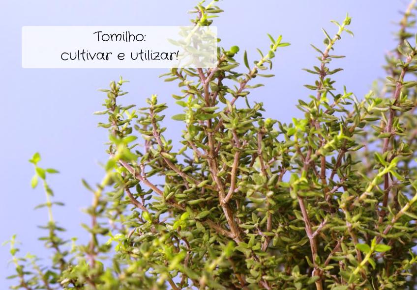 tomilho-como-cultivar-e-utilizar