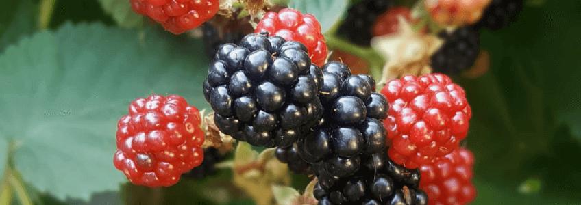 frutos-vermelhos