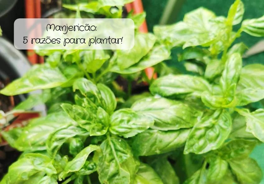 Manjericão_ 5 razões para plantar!