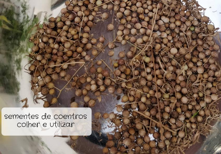 sementes de coentros
