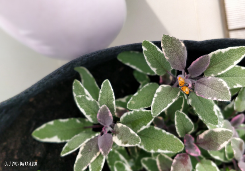 cultivar em vaso