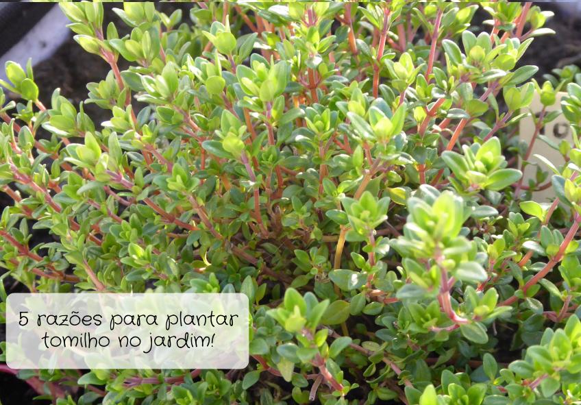 plantar tomilho no jardim