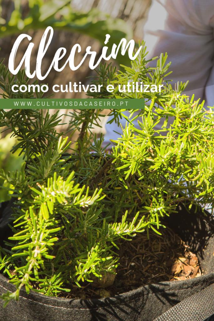 plantar-alecrim