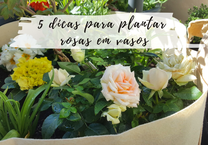 como plantar rosas em vasos