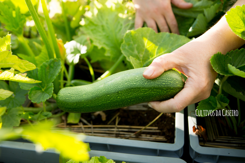 cultivar curgete